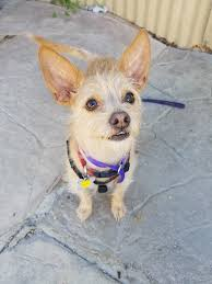Best Mini Dogs That Dont Shed by Arizona Small Dog Rescue Home Facebook