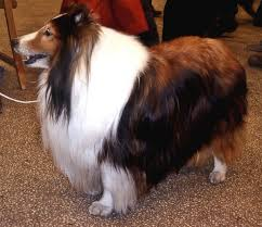 shetland sheepdog simple english wikipedia the free encyclopedia