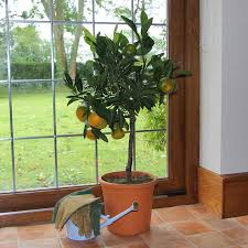 Christmas Tree Saplings Ireland by Citrus Tree Gifts For Sale Buy Online Send A Citrus Tree Gift