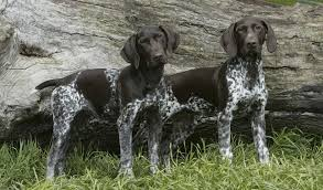 German Shorthaired Pointer Shed Hunter by German Shorthaired Pointer Dog Breed Information