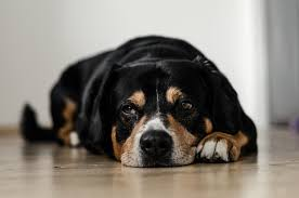 Pumpkin Puree For Dog Constipation by What To Do If Your Dog Ate Plastic The Dogs Network