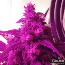 Delicious Northern Light Blue Auto Feminized Seeds