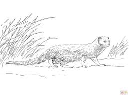 Click The Indian Gray Mongoose Coloring Pages