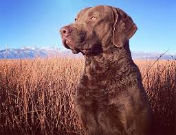 Chesapeake Bay Retriever Vs Lab Shedding by Life Span Of Chesapeake Bay Retriever
