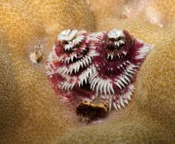 Are Christmas Trees Poisonous To Dogs by Christmas Tree Worm Madang Ples Bilong Mi