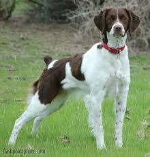 20 best brittany spaniel images on pinterest french brittany