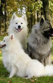 Dogs That Dont Shed Keeshond by Keeshond Dog Breed Information Pictures Characteristics U0026 Facts