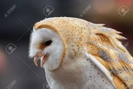 Barn Owl Tyto Alba Stock Photo, Picture And Royalty Free Image ... White And Brown Barn Owl Free Image Peakpx Sd Falconry Barn Owl Box Tips Encouraging Owls To Nest Habitat Diet Reproduction Reptile Park Centre Stock Photos Images Alamy Bird Of Prey Tyto Alba Video Footage Videoblocks Barn Owl Tyto A Heart Shaped Face Buff Back Wings Bisham Group Bird Of Prey Clipart Pencil In Color British Struggle Adapt Modern Life Birdguides Beautiful Owls Pulborough Brooks The