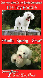 Low Shedding Small Dogs by 84 Best Cute Small Dog Breeds Images On Pinterest Small Dogs