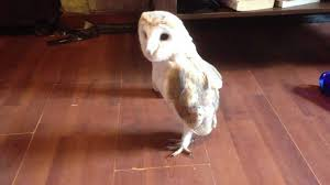 Swinton Park Birds Of Prey - Gary The Dancing Baby Barn Owl - YouTube Barn Owl New Zealand Birds Online Audubon California Starr Ranch Live Webcams Barn Red My Pet Pupo The Barn Owl Mouse Youtube Babyowl Explore On Deviantart Adopt An The Wildlife Trusts Wikipedia Owlrodent Research Project Vineyard Owl Lookie My Pet Growing Up Growing Up Album Imgur Made Out Of Wood And Plant Materials I Found At Parents