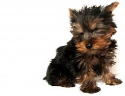 Dog Breeds That Dont Shed List by Lap Dogs That Don T Shed Small Dog Breeds That Don T Shed Youtube