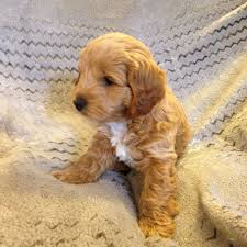Do F2 Cockapoos Shed by Do F1 Cockapoos Shed 100 Images F1 Cockapoo Puppies Glasgow