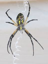 Do Not Touch These Backyard Bugs | Minnesota Gardener Magazine R2rustys Chatter September 2017 Ladybugs Backyard And Beyond Birdingand Nature Golden Silk Orb Weaver Spider In Bug Eric Sunday Black Yellow Argiope Glass Beetle By Falk Bauer A Backyard Naturalistinsects Ghost Spiders Family Anyphnidae Spidersrule C2c_wiki_silvgarnspider_hrw8q0m1465244105jpg Aurantia Wikipedia Two Views Sonoran Images Elephant Tiger Skin Spiny Blackandyellow Garden Mdc Discover Power Animal For October Shaman Amy Katz