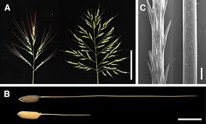 Domesticated Versus Wild Rice? Bring It Awn! | Plant Cell Flickr Photos Tagged Heltotrichon Picssr Protect Your Pet Against Cheat Grass And Foxtail Research Spotlight Using Phenology To Help In The Fight Laba1 A Domescation Gene Associated With Long Barbed Awns Interesting Stipapulchra Deadly When Dry 10 Things Know About Plant Dev Agrilife Triticale Offers Grazing Benefits Options Isolated Ear Of Wheat With Stock Photo Image 36250058 Vascular Plants Of Gila Wilderness Bromus Carinatus Dogs Risks Symptoms Treatment Petmd Fileoplismenus Undulatifolius Awnsjpg Wikimedia Commons Diversity Free Fulltext Barley Developmental Mutants The