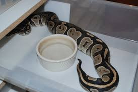 Ball Python Shedding Eating by Breeding Python Regius World Of Ball Pythons