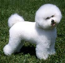 Small Non Shedding Dogs For Adoption by Adopt A Bichon Frise Dog Breeds Petfinder