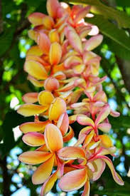 Plumeria leis The smell is still fresh in my mind 7 years later