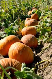 Pumpkin Patch Near Las Vegas Nv by 91 Best Las Vegas Images On Pinterest In Las Vegas Las Vegas