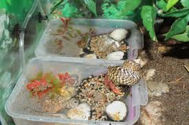Do Hermit Crabs Shed Their Legs by Proper Care Of Land Hermit Crabs Alaska Hermit