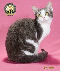 haired cat breed profile the american wirehair