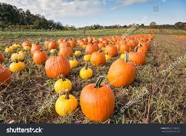 Pumpkin Patch In Long Island New York by Pumpkin Patch Field Stock Photo 221796022 Shutterstock