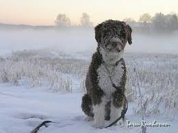 spanish water dog breed information and pictures
