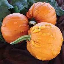 Connecticut Field Pumpkin For Pies by Chucky Hybrid Pie Pumpkin 03304 Soft Shelled 2 3 Lbs