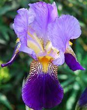 iris tropical bulbs roots rhizomes ebay