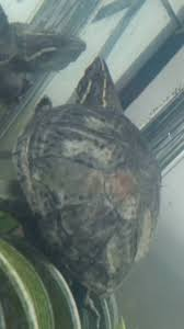 white spots on musk turtle emergency care turtle forum