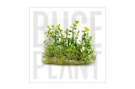 bacopa monnieri tissue culture pack buce plant