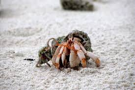 Do Tarantulas Molt Upside Down by Find Out If Your Hermit Crab Is Molting Or Dead