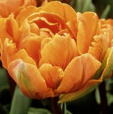 tulips orange princess peony 10 bulbs per pack hadeco