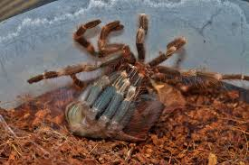 the molting of nhandu chromatus the brazilian red and white