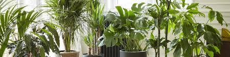 große zimmerpflanzen kaufen bakker