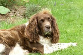 Springer Spaniel Shed Hunting by Welsh Springer Spaniel Information Dog Breeds At Dogthelove