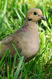 214 Best Doves And Pigeoons Images On Pinterest | Mourning Dove ... A Tame Pigeon In Our Back Yard Youtube 378 Best Pigeons Doves Images On Pinterest Beautiful Birds Hd Big Dove Pigeons Doves White Gray Eating Seed Backyard Flock Of Bandtailed Cramming Into Bird Feeder My First Backyard Chickens Building Loft For New Need Info Faest Sprinter Racing Modena Food And Profit Cooldesign Backyard Architecturenice Busy Their Foods My Help Me Identify The Gender This