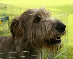 Dogs That Dont Shed Hair Ireland by The Irish Wolfhound Propuppy