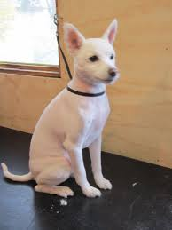 a small to medium size nordic type dog the american eskimo dog is