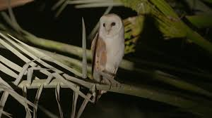 Barn Owl At Night On A Palm Tree Stock Video Footage - VideoBlocks Barn Owl Perching On A Tree Stump Facing Forward Stock Photo The Owls Of Australia Australian Geographic Audubon Field Guide Beautiful Perched 275234486 Barred Owl Vs Barn Hollybeth Organics Luxury Skin Care Why You Want Buddies Coast News Group Sleeping By Day Picture And Sitting Venezuela 77669470 Shutterstock Rescue Building Awareness Providing Escapes And Photography Owls Owlets At Charlecote Park Barnaby The Ohio Wildlife Center