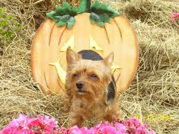 Trinity Pumpkin Patch Baton Rouge by Yorkie Haven Rescue