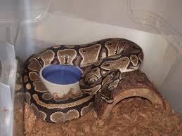 interesting behavior in female ball python