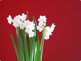 growing paperwhites white winter flowers miracle gro