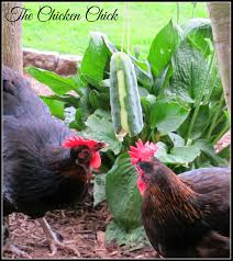 Cucumber Tetherball: Chicken Boredom Buster | Cucumber, Backyard ... Diy Treat Basket Backyard Chickens Treating Bumblefoot In Chicken Coops Homemade Coops Backyard Chickens Page 1 Garden Delights Homemade Scratch Block And Boredom Buster For 175 Best Homestead Images On Pinterest Backyard Chickensthe Girls Get Treats Being Good Layers The Chick 20 Winter Busters Causes Prevention Treatment Treats Guide Dont Love Your Pets To Getting A Cold Treat Youtube Learn The Benefits Of Pumpkin Your Flock From Tillys