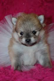 Do Pomskies Shed Fur by 2772 Best Animals Images On Pinterest Animals Puppies And Pomsky