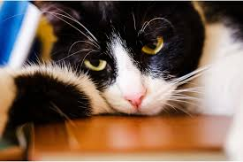 renal failure in cats acute renal failure in cats signs causes and treatment catpular
