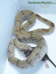 Ball Python Shedding Eating by Snakes Archives Backwater Reptiles Blog