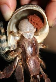 Do Hermit Crabs Shed Their Body by 33 Best Cute Hermit Crab Images On Pinterest Hermit Crabs Costa