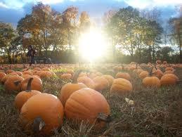 Pumpkin Picking Farm Long Island Ny by Dear Pumpkin Pickers
