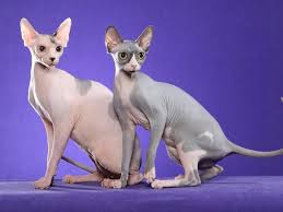 hairless cat price top 10 most expensive cats