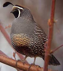 California State Bird